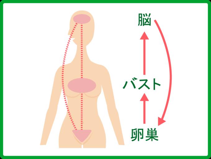 女性ホルモンの活性化のイメージ