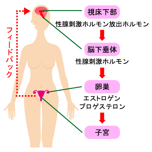 エストロゲンの作用のイメージ